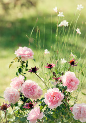 Rosa, Echinacea and Gaura live together in harmony