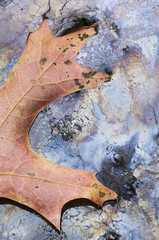 Decaying oak leaf and plant oils floating on a pond