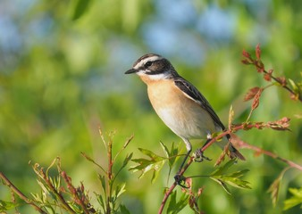 whinchat (Saxicola rubetra) in the wild