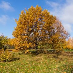 Beautiful big oak in an old park in autumn