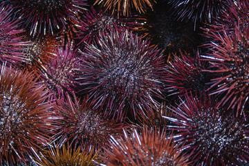 Sea urchins. Sardinia (Italy)
