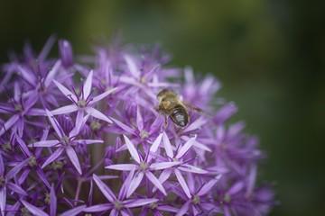 A Bee Pollinating an Allium Flower