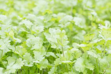 Fresh coriander (cilantro) herb closeup.