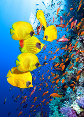 Foto auf AluDibond Unterwasser Underwater image of coral reef and School of Masked Butterfly Fish