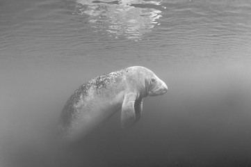 Manatee Portrait in Black and White