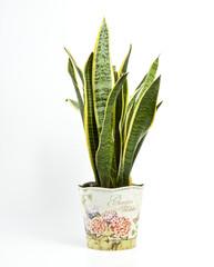 Sansevieria trifasciata or Snake plant in pot on a white background