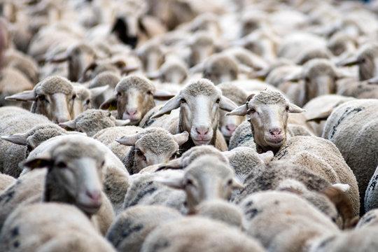 Many merino sheep