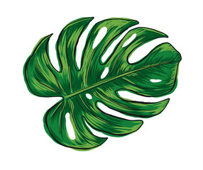 Hand drawn monstera deliciosa tropical leaf isolated on white background