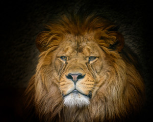 Male Barbery lion