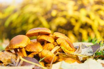 Wild growing orange yellow mushrooms on ground