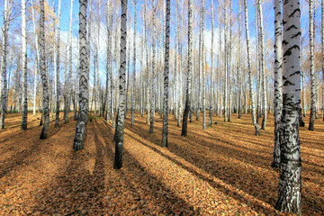 in the birch park in late autumn