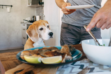 Beagle carefuly looking how the dinner prepare