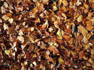 Sun shining on carpet of mixed deciduous leaves