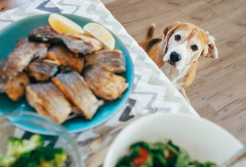 Hungry beagle looks on dinner table with served meal