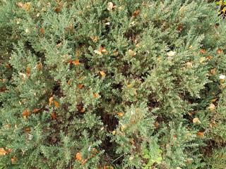 Autumn leaves in a gorse bush
