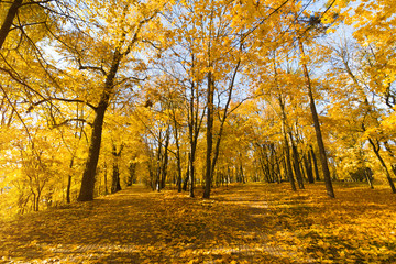 Bright fallen leaves in autumn forest at sunny weather. Fall maple trees. Yellow nature background