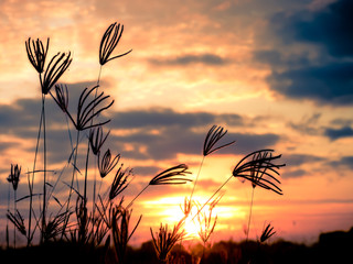 Fototapete - Silhouette grass at sunset or sunshine in the field