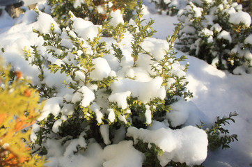 bush green and yellow branches covered with snow