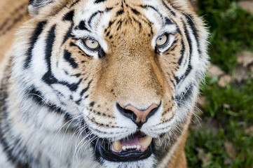 Portrait close up d'un tigre