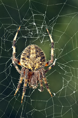 Spider on Ragged Web Against Green Background