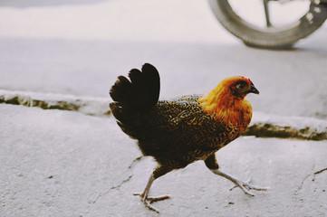 chicken crossing a road