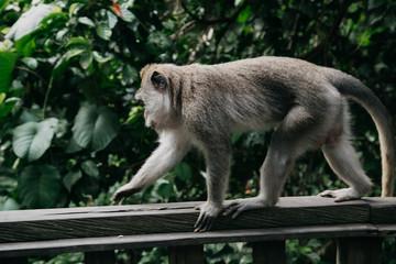 Monkeys in Ubud Sacred Monkey Forest. Bali, Indonesia