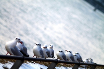 Selected focus on row of seagulls in winter on the riverside. Shallow focus background.