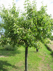 Pear tree with green leaves and red fruits . Tuscany, Italy
