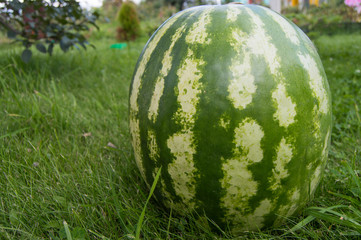 Striped watermelon lying on the grass, closeup