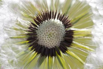 Dandelion Macro With Seeds