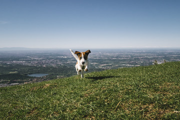 Jack Russell Puppy jumping outdoors in high mountain