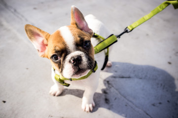 french bulldog puppy on a lease