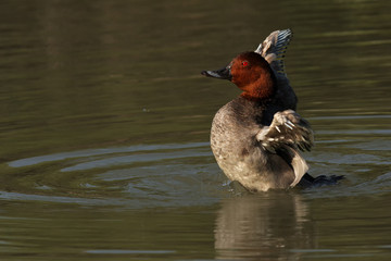 The common pochard (Aythya ferina) is ruffled its feathers with open wings during it was swimming in the pond