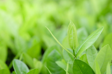 Natural green plants background or wallpaper. nature view of green leaf in garden at summer under sunlight.