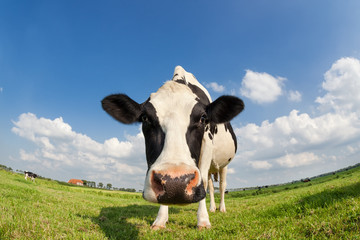 Foto op Canvas Koe funny close up cow on green grass pasture