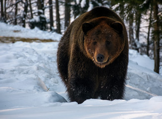 brown bear walking in the winter forest. lovely wildlife scenery
