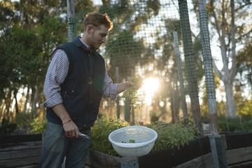Farmer harvesting vegetable on farm