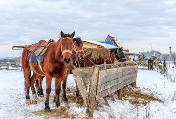 Sorrel horses eating hay from a feeding-trough at winter standing on the snow