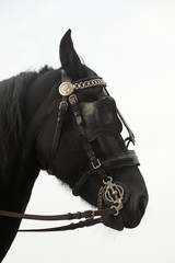 Black horse in profile