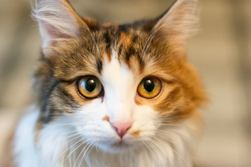 Three-colored cat lying on the pillow and looking directly into the lens