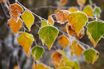 Colorful autumn birch leaves covered with hoarfrost