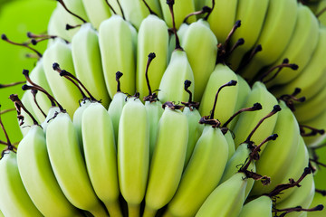 The green beautiful bananas grown on a banana tree in the big banana farm.