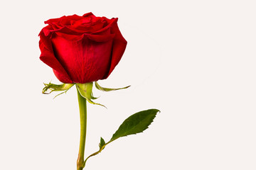 Foto op Textielframe Roses red rose bud on white background
