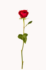 red rose stands upright on a white background