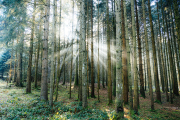 Sunbeams inside black forest