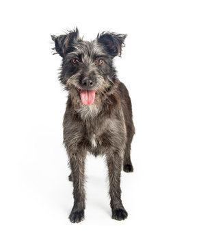 Happy Shaggy Grey Terrier Dog