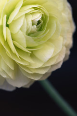 Macro of yellow ranunculus flower