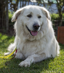 White Swiss Shepherd