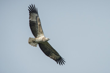 White-bellied Sea-eagle flying ,young bird