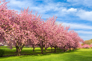 Cherry tree blossom explosion on a sunny April morning, in Hurd Park, Dover, New Jersey. Wall mural